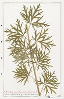 https://bibliotheque-virtuelle.bu.uca.fr/files/fichiers_bcu/Ranunculaceae_Aconitum_napellus_CLF302506.jpg