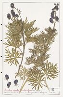 https://bibliotheque-virtuelle.bu.uca.fr/files/fichiers_bcu/Ranunculaceae_Aconitum_napellus_CLF302507.jpg