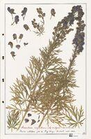 https://bibliotheque-virtuelle.bu.uca.fr/files/fichiers_bcu/Ranunculaceae_Aconitum_napellus_CLF302508.jpg