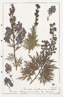 https://bibliotheque-virtuelle.bu.uca.fr/files/fichiers_bcu/Ranunculaceae_Aconitum_napellus_CLF302509.jpg