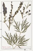 https://bibliotheque-virtuelle.bu.uca.fr/files/fichiers_bcu/Ranunculaceae_Aconitum_napellus_CLF302510.jpg