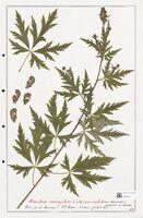 https://bibliotheque-virtuelle.bu.uca.fr/files/fichiers_bcu/Ranunculaceae_Aconitum_variegatum_CLF302511.jpg
