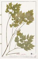 https://bibliotheque-virtuelle.bu.uca.fr/files/fichiers_bcu/Ranunculaceae_Actaea_spicata_CLF302512.jpg