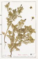 https://bibliotheque-virtuelle.bu.uca.fr/files/fichiers_bcu/Ranunculaceae_Adonis_aestivalis_CLF302513.jpg
