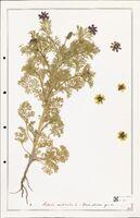 https://bibliotheque-virtuelle.bu.uca.fr/files/fichiers_bcu/Ranunculaceae_Adonis_aestivalis_CLF302514.jpg
