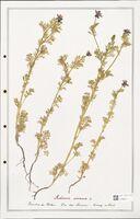 https://bibliotheque-virtuelle.bu.uca.fr/files/fichiers_bcu/Ranunculaceae_Adonis_annua_CLF302516.jpg