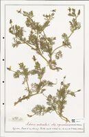 https://bibliotheque-virtuelle.bu.uca.fr/files/fichiers_bcu/Ranunculaceae_Adonis_aestivalis_CLF302517.jpg