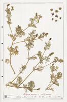 https://bibliotheque-virtuelle.bu.uca.fr/files/fichiers_bcu/Ranunculaceae_Adonis_annua_CLF302519.jpg