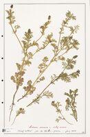 https://bibliotheque-virtuelle.bu.uca.fr/files/fichiers_bcu/Ranunculaceae_Adonis_annua_CLF302520.jpg