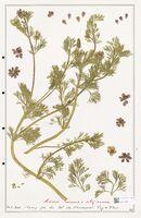 https://bibliotheque-virtuelle.bu.uca.fr/files/fichiers_bcu/Ranunculaceae_Adonis_annua_CLF302521.jpg