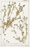 https://bibliotheque-virtuelle.bu.uca.fr/files/fichiers_bcu/Ranunculaceae_Adonis_annua_CLF302522.jpg