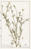 https://bibliotheque-virtuelle.bu.uca.fr/files/fichiers_bcu/Ranunculaceae_Adonis_flammea_CLF302523.jpg