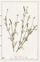 https://bibliotheque-virtuelle.bu.uca.fr/files/fichiers_bcu/Ranunculaceae_Adonis_flammea_CLF302524.jpg