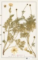 https://bibliotheque-virtuelle.bu.uca.fr/files/fichiers_bcu/Ranunculaceae_Adonis_pyrenaicus_CLF302528.jpg