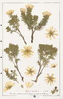 https://bibliotheque-virtuelle.bu.uca.fr/files/fichiers_bcu/Ranunculaceae_Adonis_vernalis_CLF302529.jpg