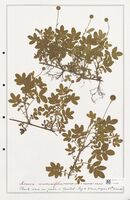 https://bibliotheque-virtuelle.bu.uca.fr/files/fichiers_bcu/Rosaceae_Acaena_anserinifolia_CLF302899.jpg