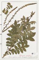 https://bibliotheque-virtuelle.bu.uca.fr/files/fichiers_bcu/Rosaceae_Agrimonia_eupatoria_CLF302900.jpg