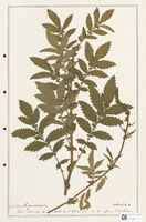 https://bibliotheque-virtuelle.bu.uca.fr/files/fichiers_bcu/Rosaceae_Agrimonia_odorata_CLF302901.jpg