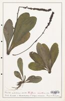 https://bibliotheque-virtuelle.bu.uca.fr/files/fichiers_bcu/Plantaginaceae_Wulfenia_carinthica_CLF139003.jpg