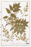https://bibliotheque-virtuelle.bu.uca.fr/files/fichiers_bcu/Simaoubaceae_Ailanthus_altissima_CLF139004.jpg