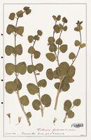 https://bibliotheque-virtuelle.bu.uca.fr/files/fichiers_bcu/Solanaceae_Withania_frutescens_CLF139043.jpg