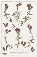 https://bibliotheque-virtuelle.bu.uca.fr/files/fichiers_bcu/Plantaginaceae_Antirrhinum_majus_CLF139075.jpg