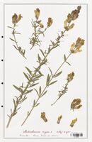 https://bibliotheque-virtuelle.bu.uca.fr/files/fichiers_bcu/Plantaginaceae_Antirrhinum_majus_CLF139076.jpg