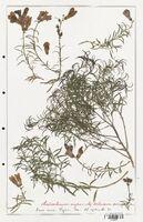 https://bibliotheque-virtuelle.bu.uca.fr/files/fichiers_bcu/Plantaginaceae_Antirrhinum_majus_CLF139078.jpg