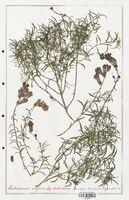 https://bibliotheque-virtuelle.bu.uca.fr/files/fichiers_bcu/Plantaginaceae_Antirrhinum_majus_CLF139079.jpg