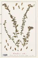 https://bibliotheque-virtuelle.bu.uca.fr/files/fichiers_bcu/Plantaginaceae_Antirrhinum_molle_CLF139080.jpg