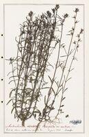 https://bibliotheque-virtuelle.bu.uca.fr/files/fichiers_bcu/Plantaginaceae_Antirrhinum_orontium_CLF139081.jpg