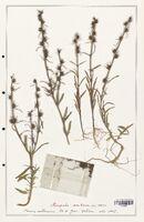 https://bibliotheque-virtuelle.bu.uca.fr/files/fichiers_bcu/Plantaginaceae_Antirrhinum_orontium_CLF139082.jpg