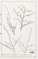 https://bibliotheque-virtuelle.bu.uca.fr/files/fichiers_bcu/Plantaginaceae_Antirrhinum_ramosissimum_CLF139083.jpg