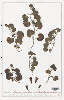 https://bibliotheque-virtuelle.bu.uca.fr/files/fichiers_bcu/Plantaginaceae_Asarina_procumbens_CLF139087.jpg