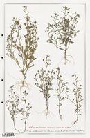 https://bibliotheque-virtuelle.bu.uca.fr/files/fichiers_bcu/Plantaginaceae_Chaenorrhinum_minus_CLF139094.jpg