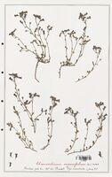 https://bibliotheque-virtuelle.bu.uca.fr/files/fichiers_bcu/Plantaginaceae_Chaenorrhinum_origanifolium_CLF139095.jpg