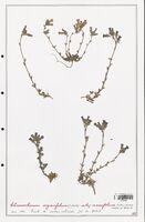 https://bibliotheque-virtuelle.bu.uca.fr/files/fichiers_bcu/Plantaginaceae_Chaenorrhinum_origanifolium_CLF139096.jpg