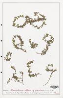 https://bibliotheque-virtuelle.bu.uca.fr/files/fichiers_bcu/Plantaginaceae_Chaenorrhinum_villosum_CLF139100.jpg