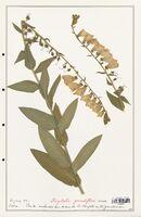 https://bibliotheque-virtuelle.bu.uca.fr/files/fichiers_bcu/Plantaginaceae_Digitalis_grandiflora_CLF139102.jpg