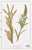 https://bibliotheque-virtuelle.bu.uca.fr/files/fichiers_bcu/Plantaginaceae_Digitalis_lanata_CLF139104.jpg