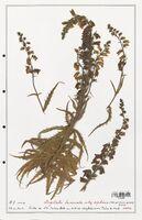 https://bibliotheque-virtuelle.bu.uca.fr/files/fichiers_bcu/Plantaginaceae_Digitalis_laciniata_CLF139105.jpg
