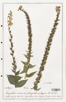 https://bibliotheque-virtuelle.bu.uca.fr/files/fichiers_bcu/Plantaginaceae_Digitalis_media_CLF139108.jpg