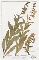 https://bibliotheque-virtuelle.bu.uca.fr/files/fichiers_bcu/Plantaginaceae_Digitalis_media_CLF139109.jpg
