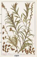 https://bibliotheque-virtuelle.bu.uca.fr/files/fichiers_bcu/Plantaginaceae_Digitalis_obscura_CLF139110.jpg