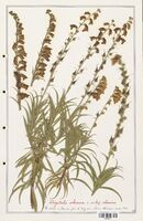 https://bibliotheque-virtuelle.bu.uca.fr/files/fichiers_bcu/Plantaginaceae_Digitalis_obscura_CLF139111.jpg