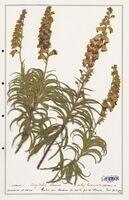 https://bibliotheque-virtuelle.bu.uca.fr/files/fichiers_bcu/Plantaginaceae_Digitalis_obscura_CLF139112.jpg