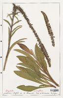 https://bibliotheque-virtuelle.bu.uca.fr/files/fichiers_bcu/Plantaginaceae_Digitalis_parviflora_CLF139113.jpg