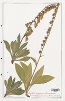https://bibliotheque-virtuelle.bu.uca.fr/files/fichiers_bcu/Plantaginaceae_Digitalis_purpurea_CLF139114.jpg