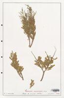 https://bibliotheque-virtuelle.bu.uca.fr/files/fichiers_bcu/Tamaricaceae_Tamarix_canariensis_CLF139122.jpg