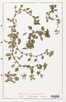 https://bibliotheque-virtuelle.bu.uca.fr/files/fichiers_bcu/Rubiaceae_Theligonum_cynocrambe_CLF139132.jpg